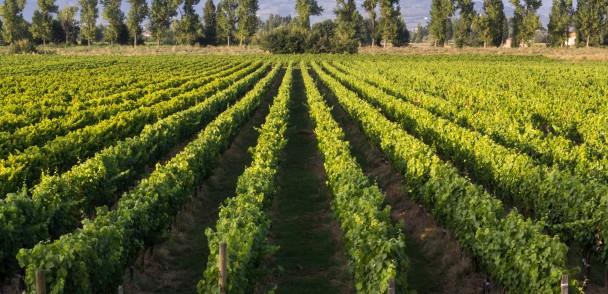 Nuevo plus para producción de vinos blancos