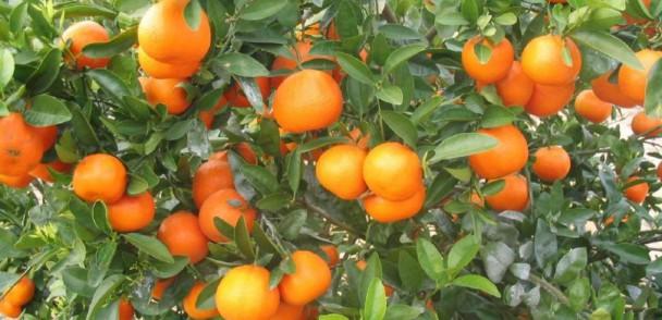 ¡Comenzó la temporadas de mandarinas!