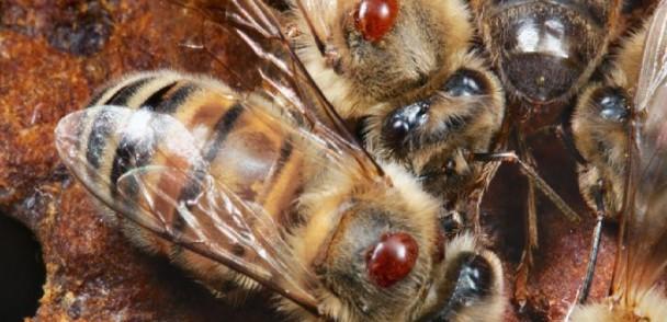 Descubren dos mutaciones que permiten a un ácaro resistir a los plaguicidas y matar abejas