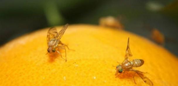 SAG comienza campaña de mosca de la fruta en Villa Alemana