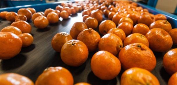 Comienza proceso de apertura del mercado chino para los cítricos chilenos
