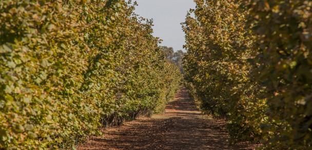Seminario analizará producción de avellanos en Chile