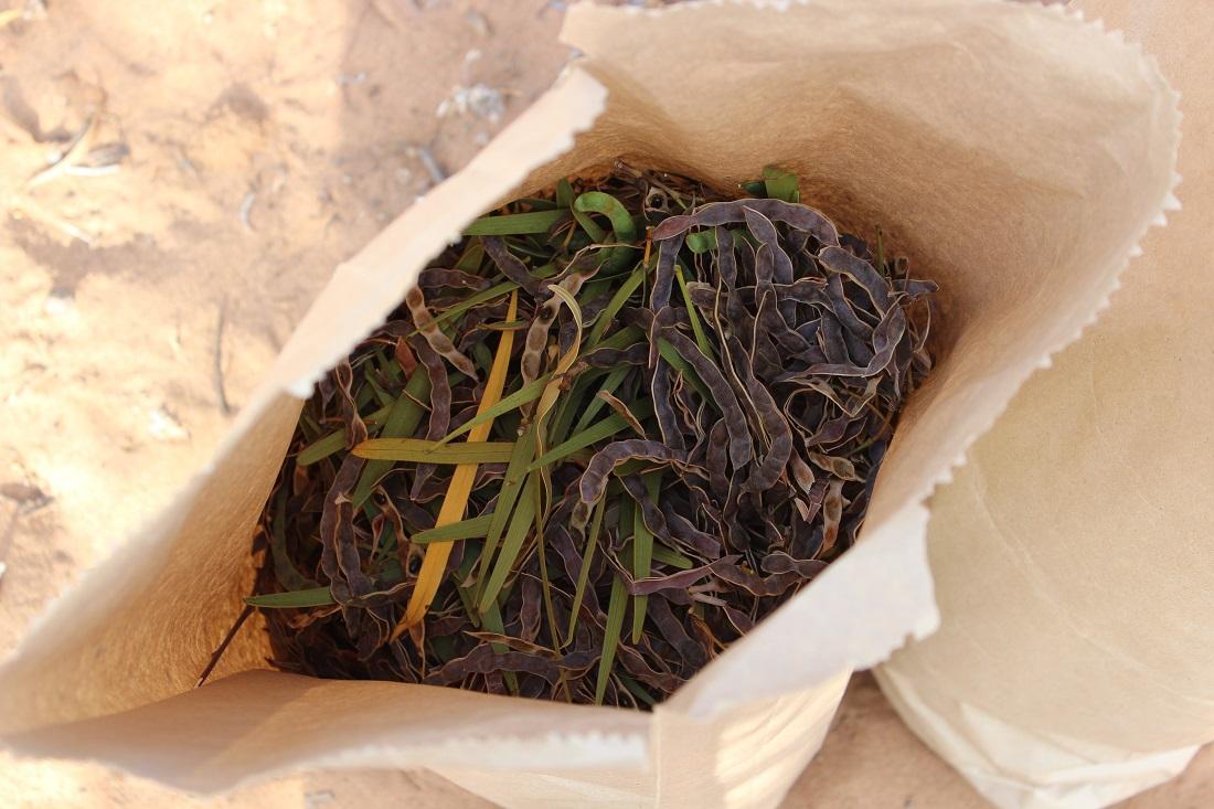 Experto avala propiedades funcionales de la Acacia Saligna