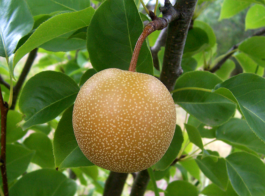 México comprará peras surcoreanas a partir de septiembre