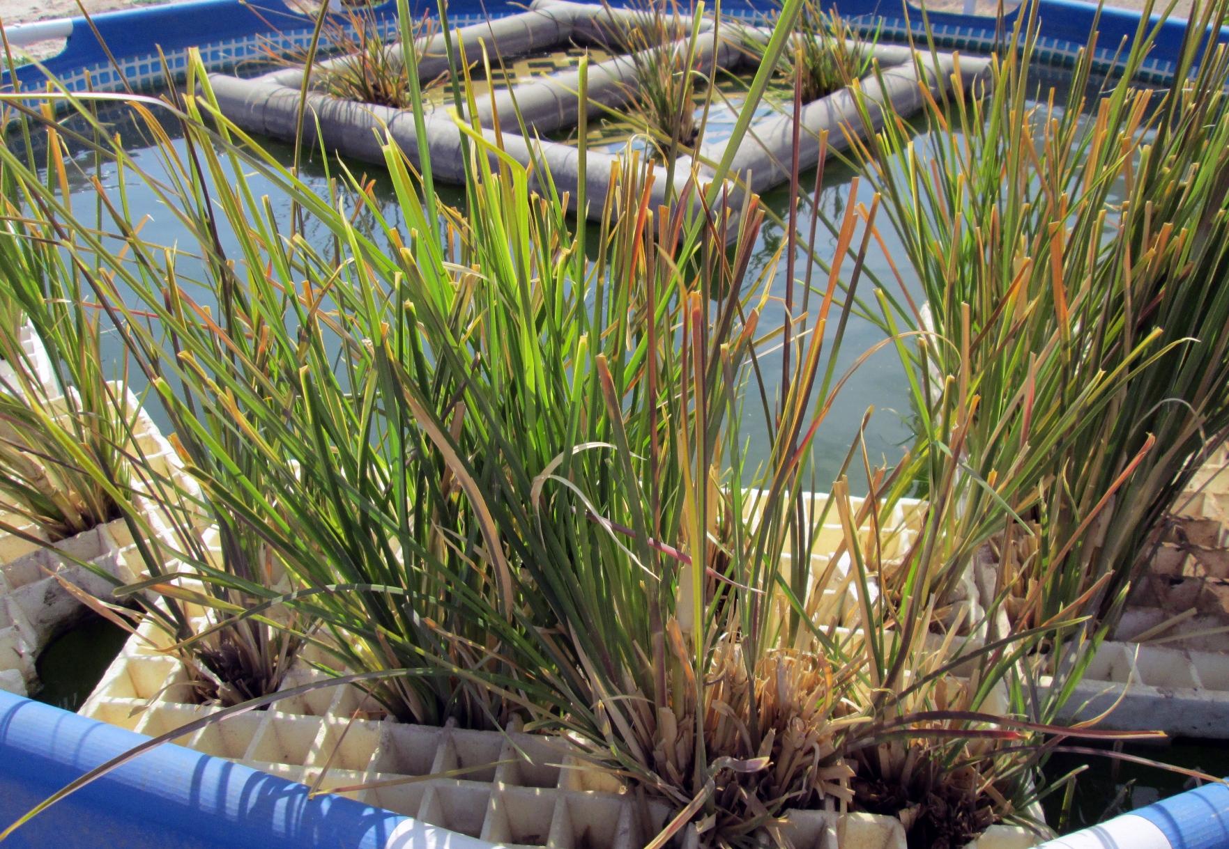 Sistema vetiver logró recuperar aguas contaminadas para utilizarlas en riego