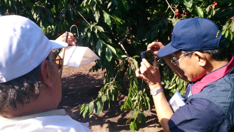 """Japón autoriza importaciones de cerezas chilenas bajo esquema """"Systems Approach"""""""