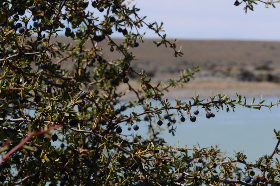 Frutos silvestres de Aysén se convertirán en jugos 100% antioxidantes