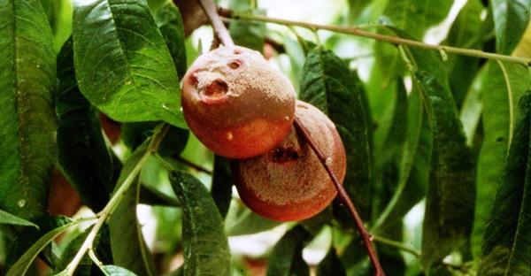 Claves para prevenir y controlar la Monilinia fructicola