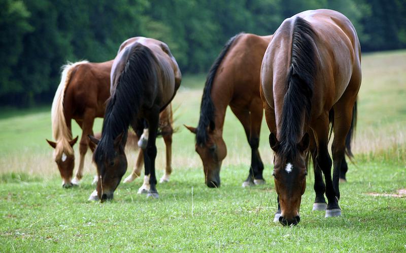 Identificados 125 genes relacionados con la domesticación del caballo