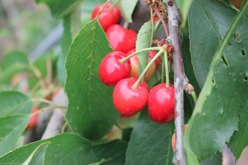Al menos un 15% de las cerezas se dañaron por las lluvias del sábado