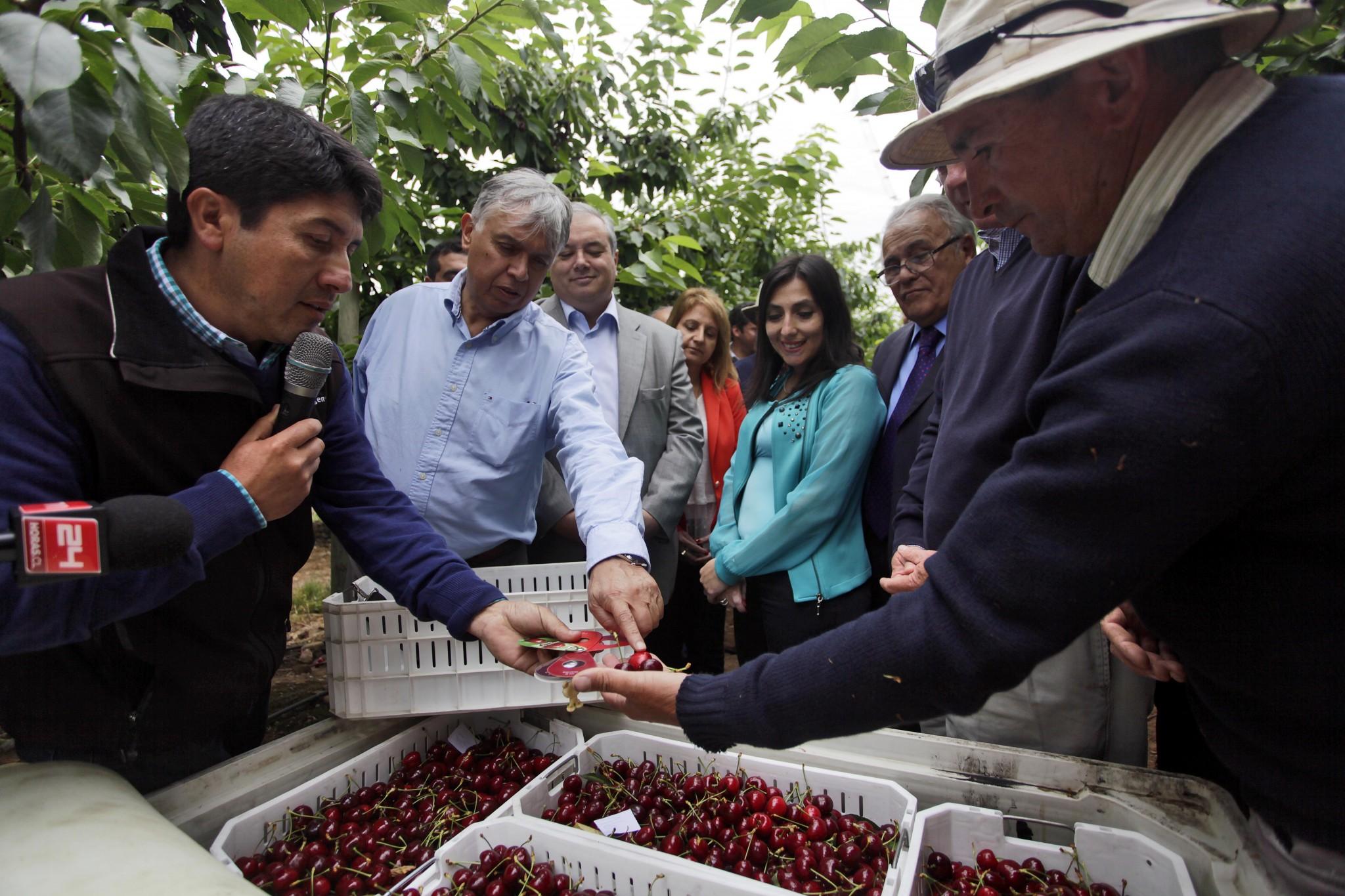 Ministro Furche evalúa en terreno daños de cerezas afectadas por frente de mal tiempo