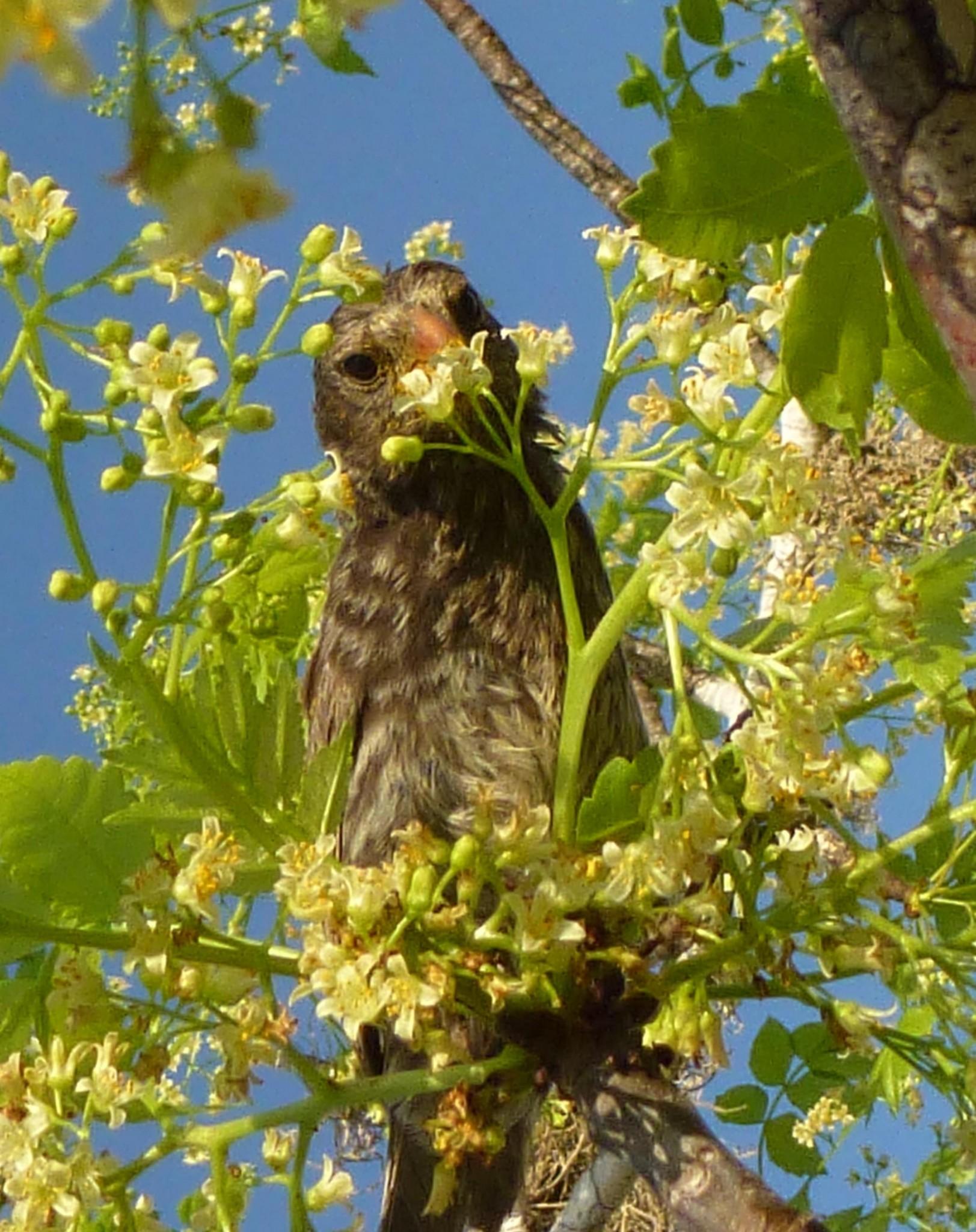 Aves de Galápagos se alimentan de más de 100 especies de flores por escasez de insectos