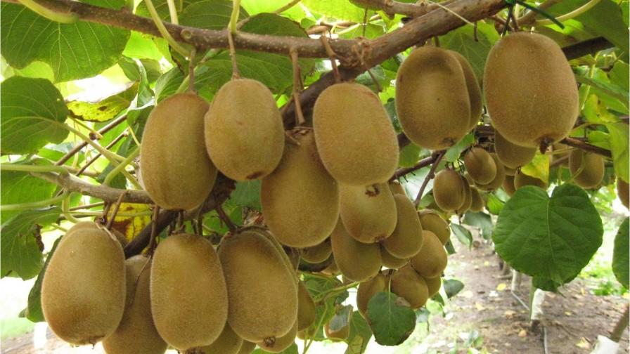 Programa Systems Approach para exportadoras de kiwi temporada 2015