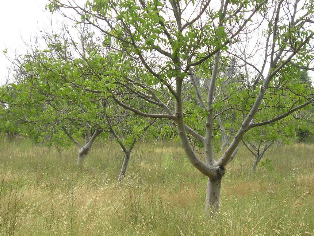 ¿Cómo afectó la lluvia a las nueces? Recomendaciones para la cosecha