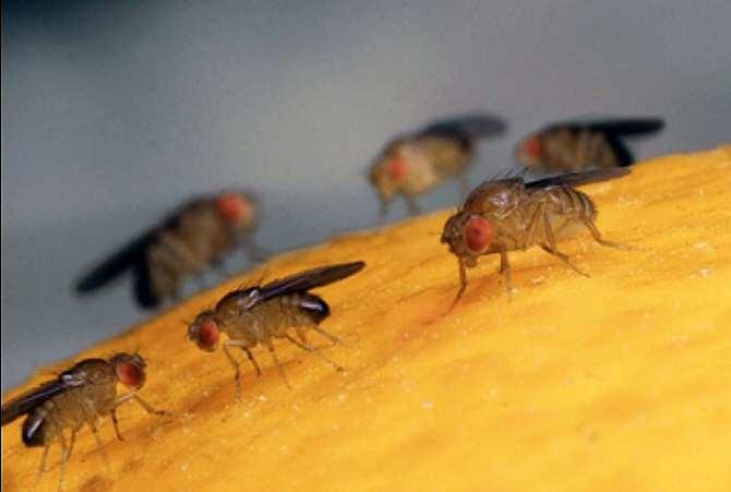 Mosca de la fruta: SAG ha capturado 11 ejemplares adultos y 9 focos larvales