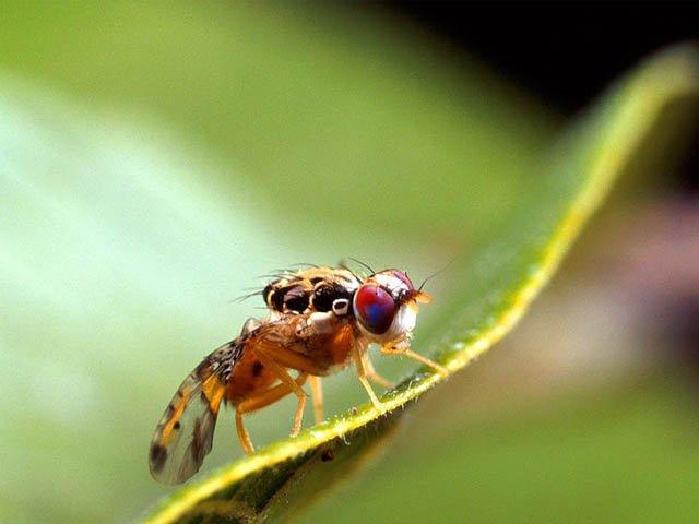 Detectan presencia de mosca de la fruta en La Serena