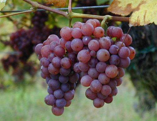 Desvelan tres nuevas variedades de uva de mesa chilena