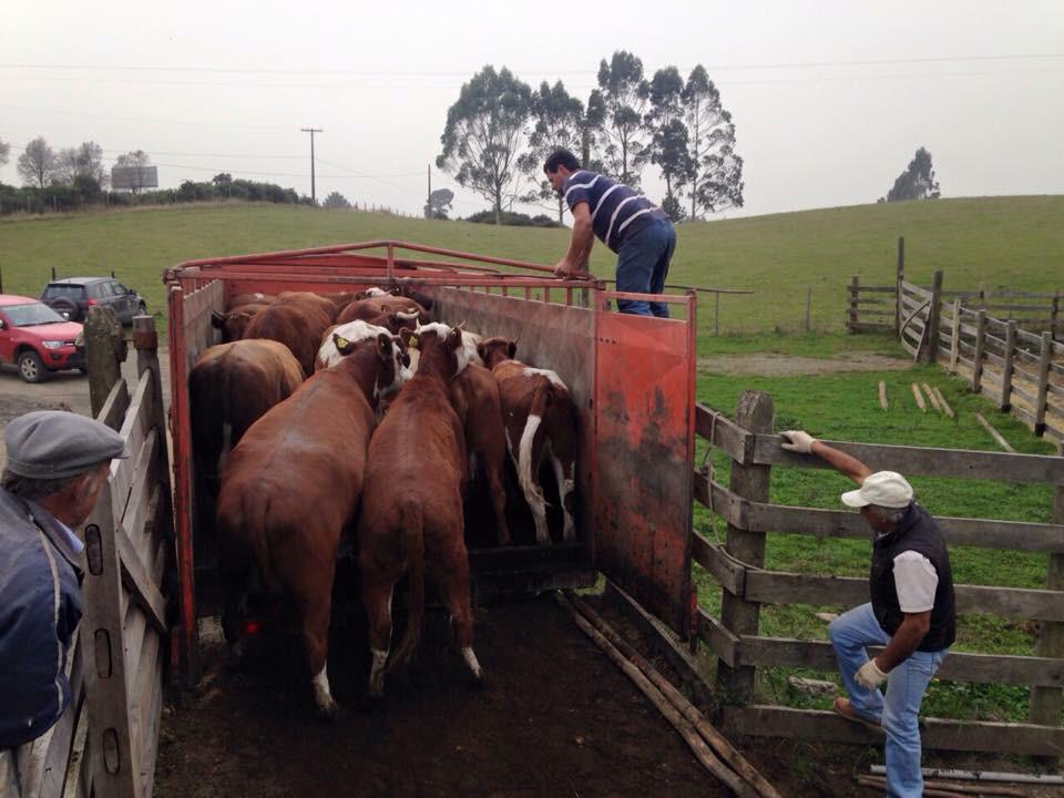 Volcán Calbuco: Dos mil animales se han movilizado desde la zona de exclusión