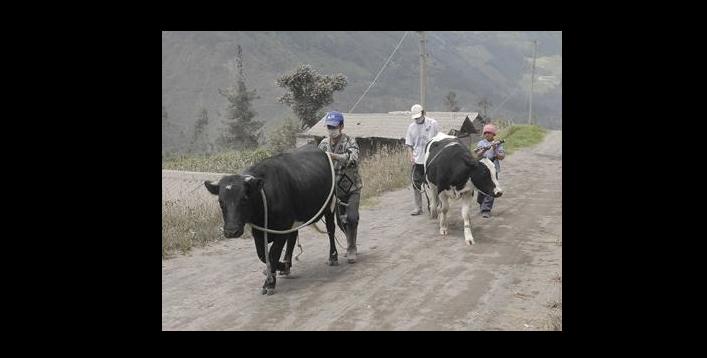 El dramático escenario que enfrentan los animales por erupción del volcán Calbuco