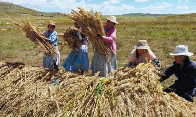 La quínua se luce en Perú