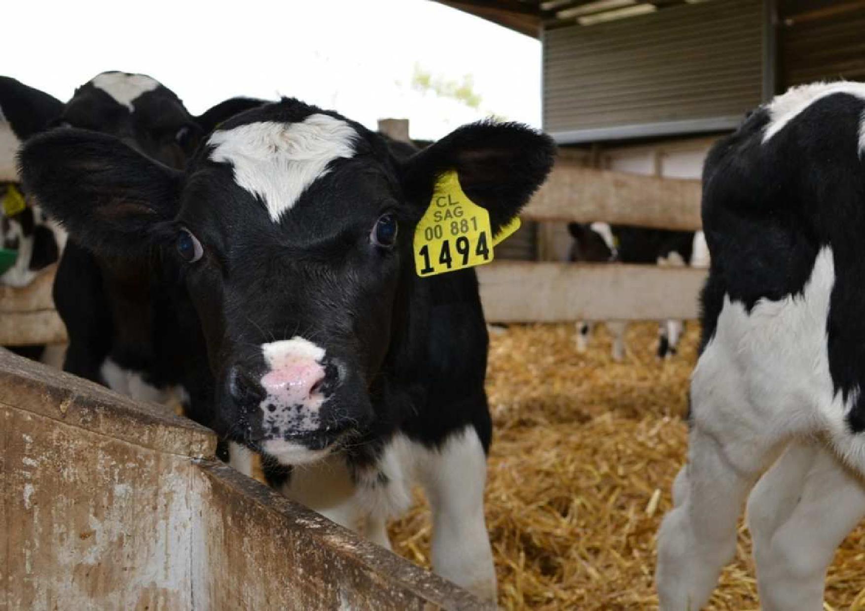 Terneros de lechería irrumpen como alternativa de negocio para agricultores