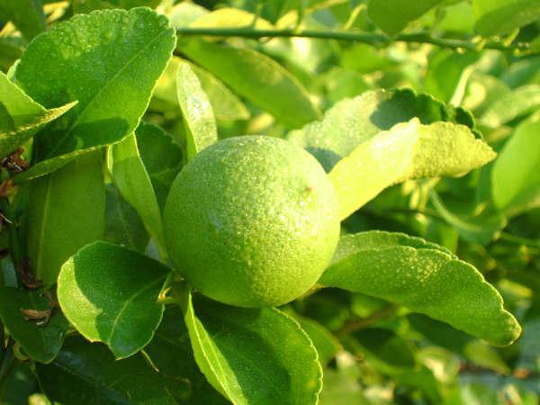 Premio limón
