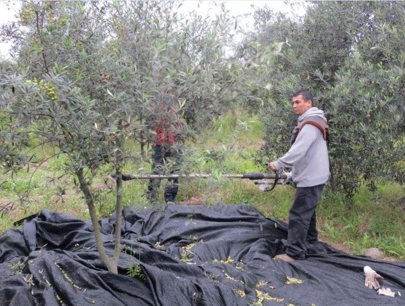 Olivicultores buscan optar a mecanización en cosecha ante escasez de mano de obra