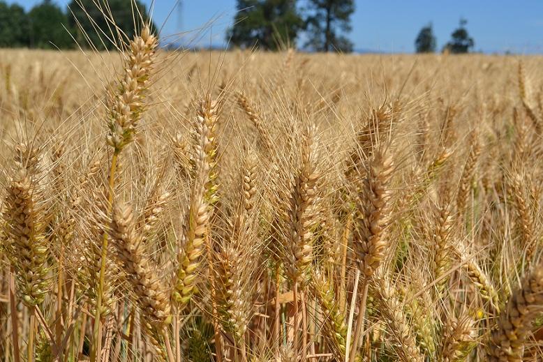 Hablemos de trigo