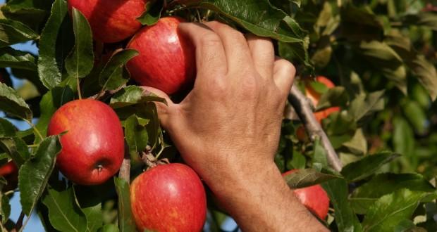 Caen exportaciones de manzanas