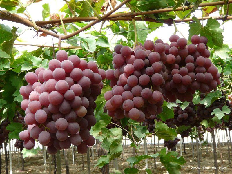 El impacto del sub-riego en uva de mesa