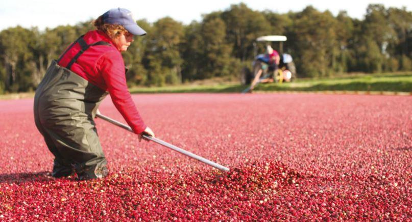 USDA autoriza la importación a EEUU de cranberries frescos chilenos