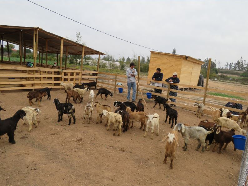 Evalúan utilizar residuos de aceite de oliva para alimentar ganado