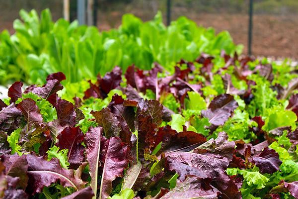 Agricultores se interiorizan en producción de hortalizas baby en valle central