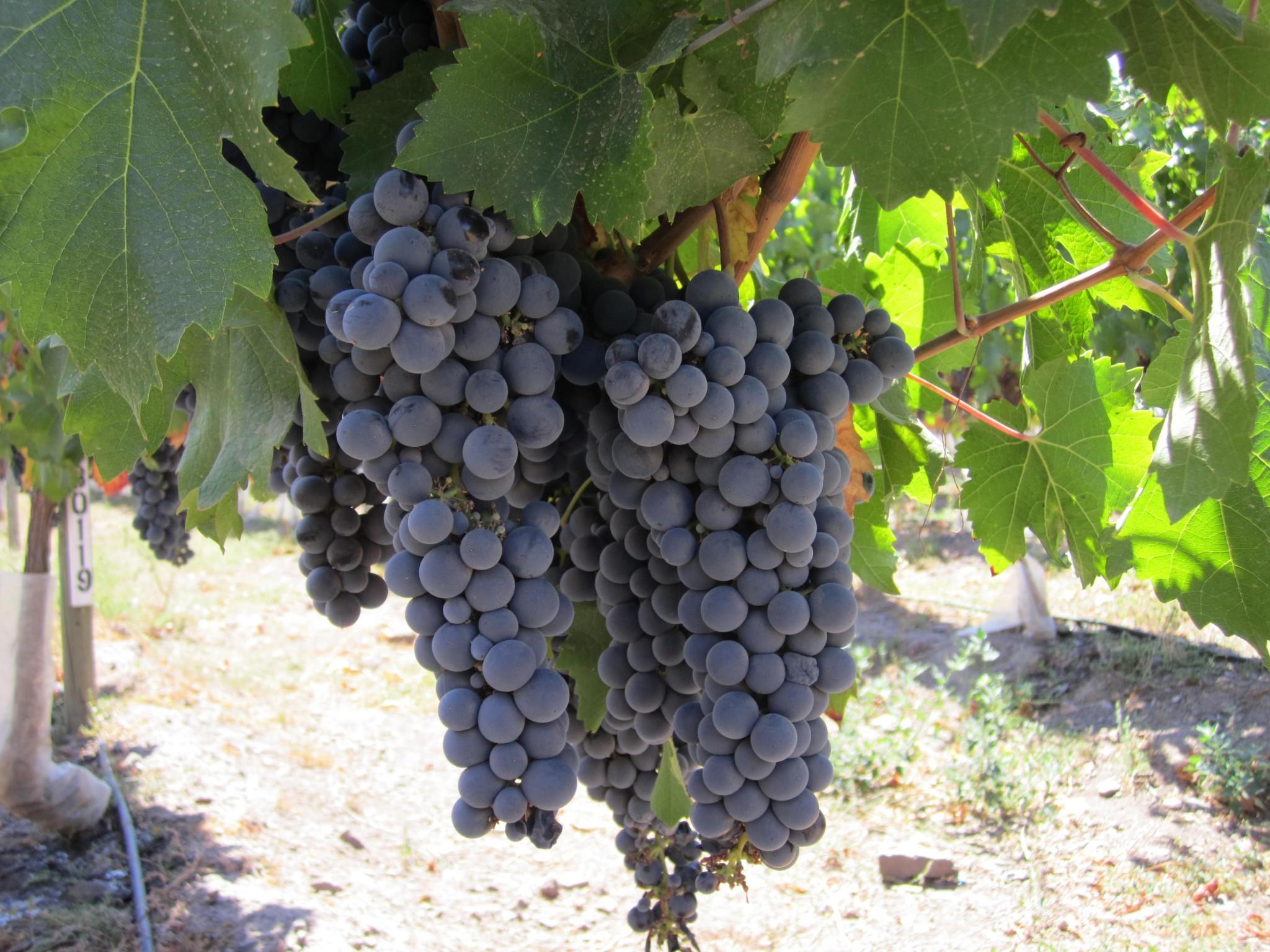 I+D Consorcio Vinos de Chile organiza importante seminario internacional