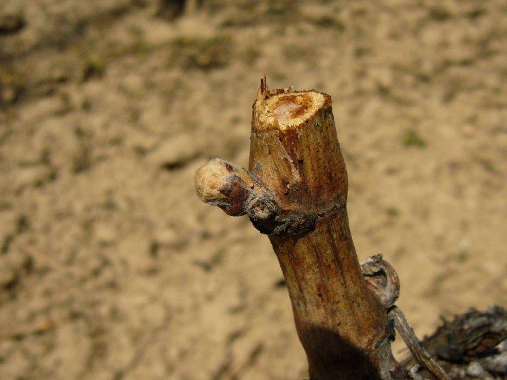 ¿Cómo afecta la enfermedad de la madera en los viñedos chilenos?