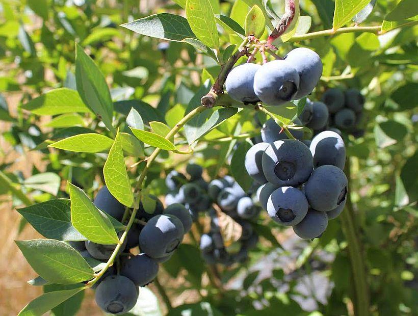 Acuerdo beneficiará al 45% de la producción de berries de la Araucanía