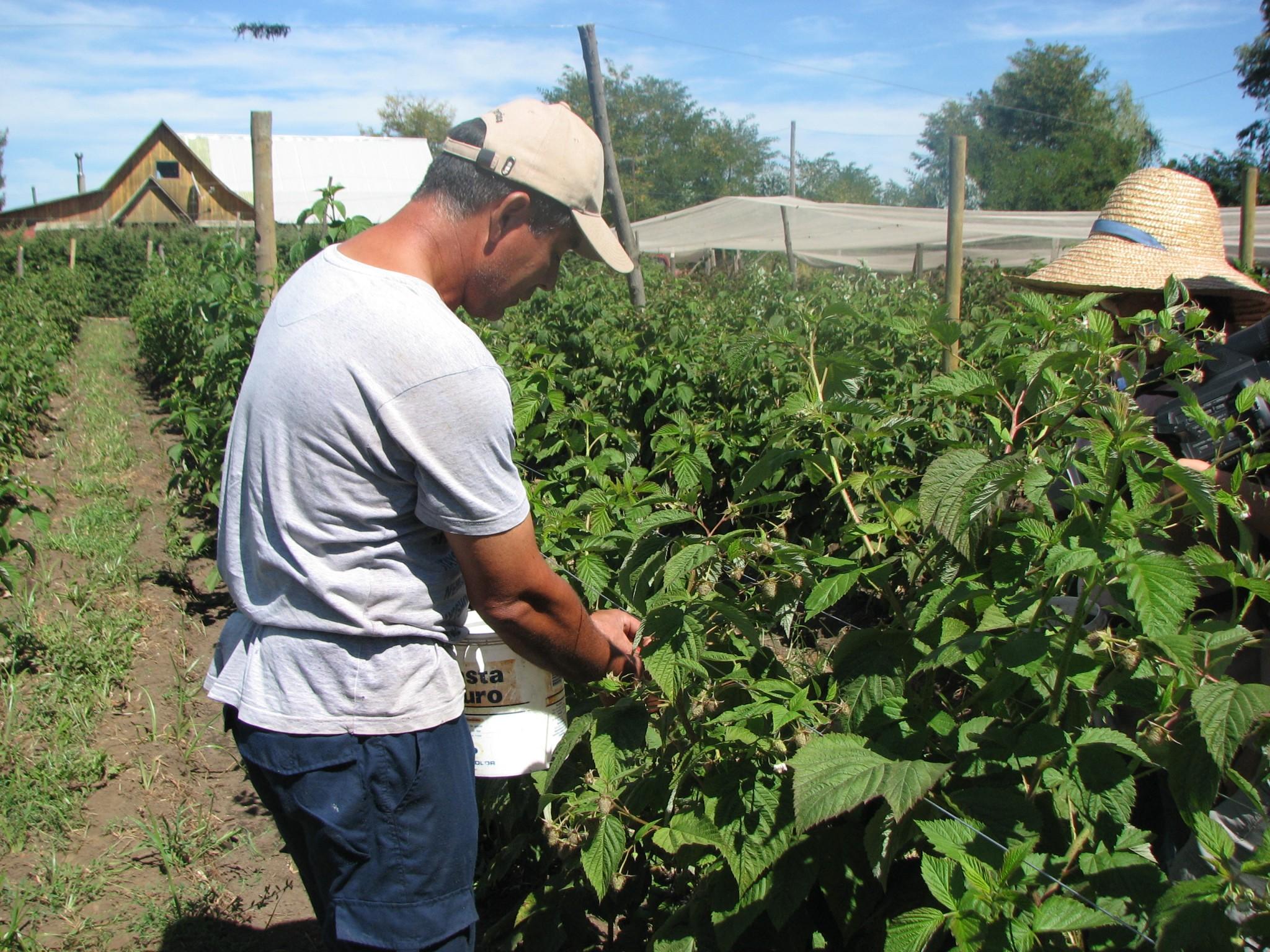 Productores de berries busca aumentar la competitividad