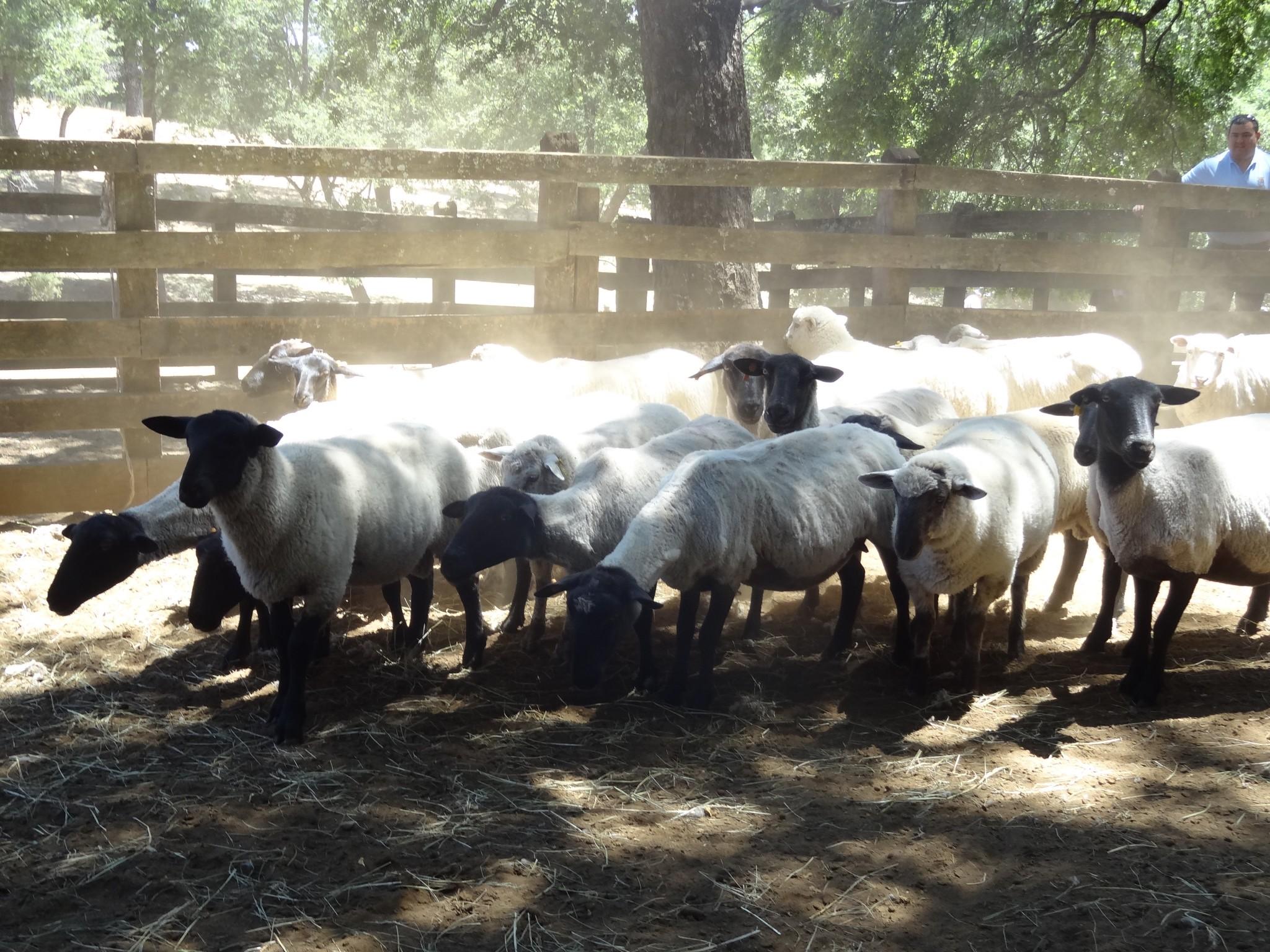 Proyecto permitirá aumentar la producción ovina de manera sustentable