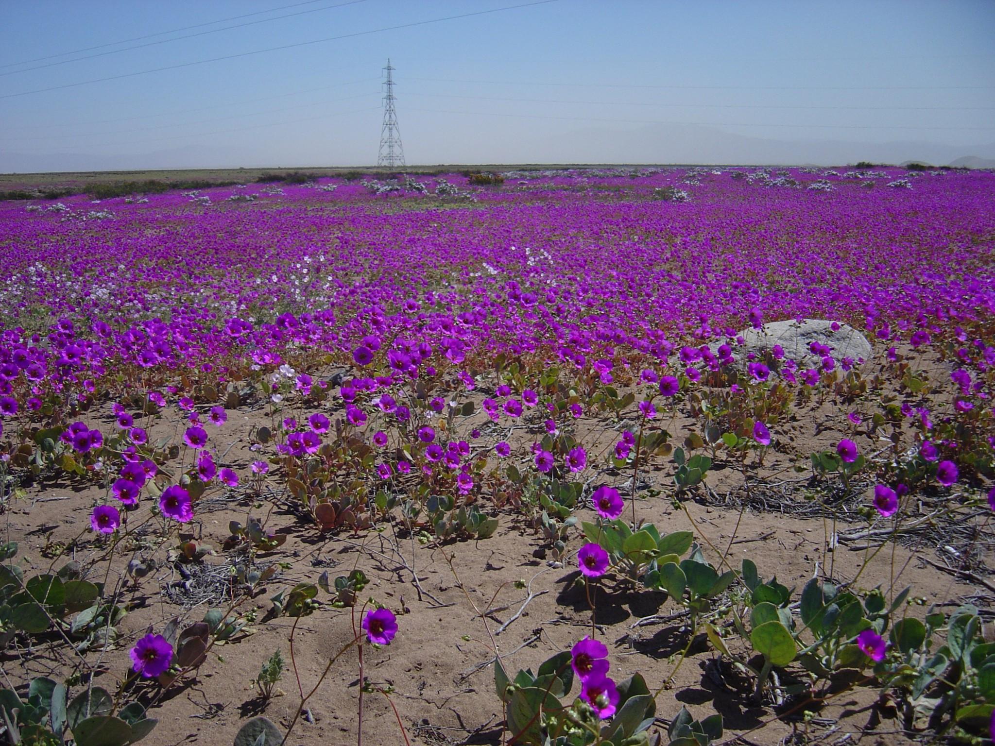 El niño que regó de flores el desierto