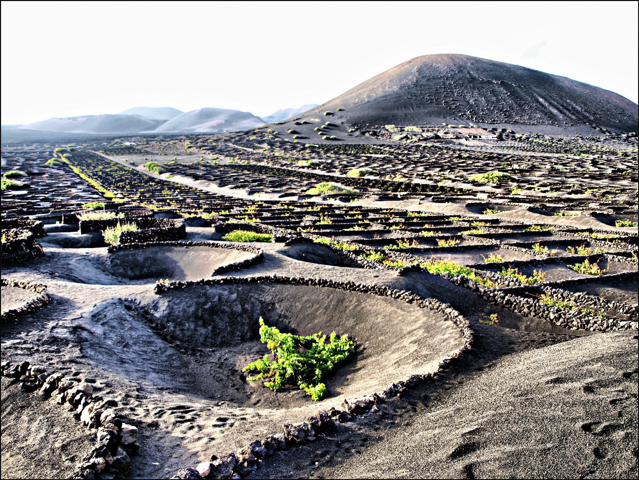 Las viñas del volcán