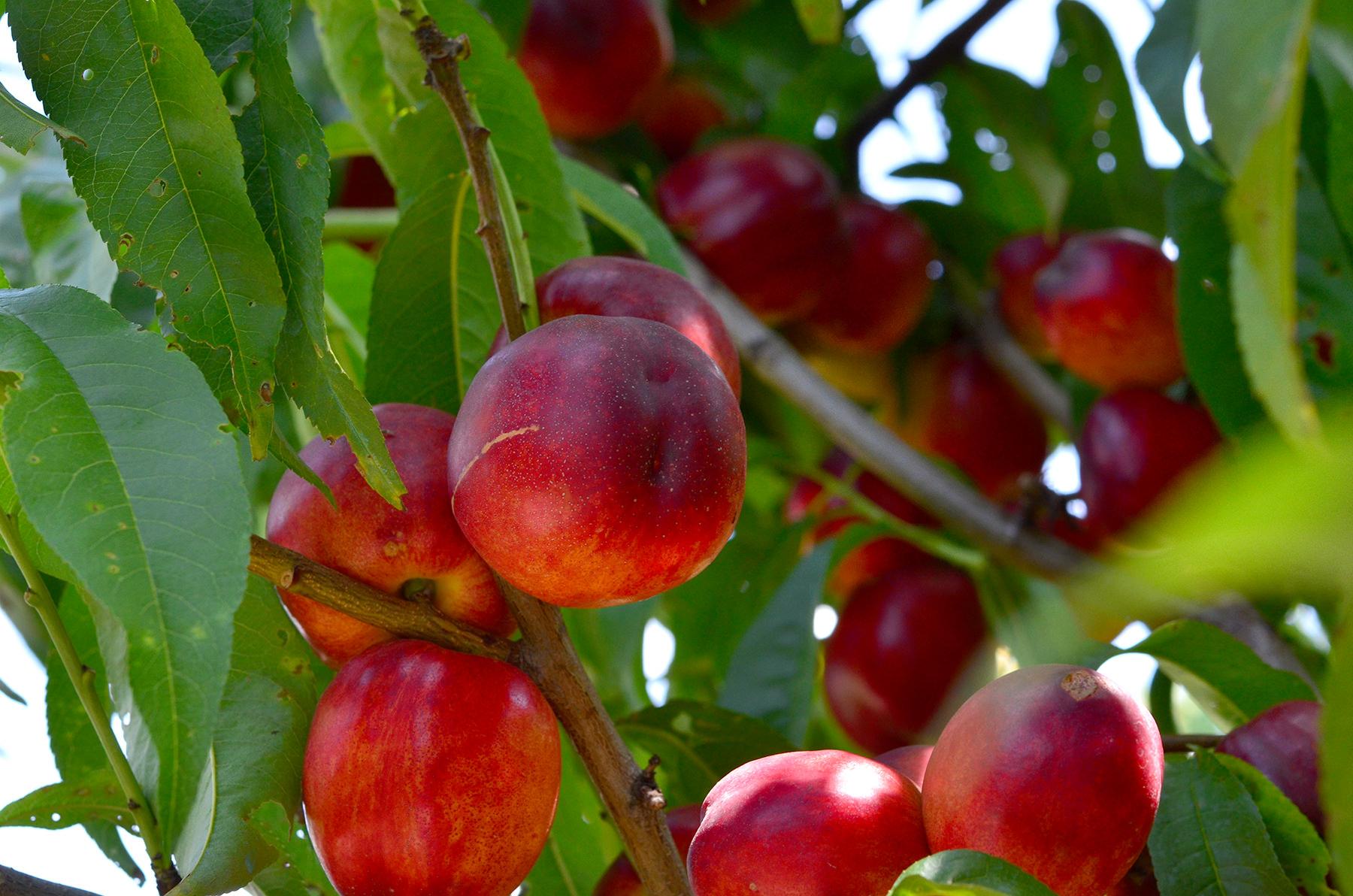 Nectarines chilenos podrán ingresar al mercado chino