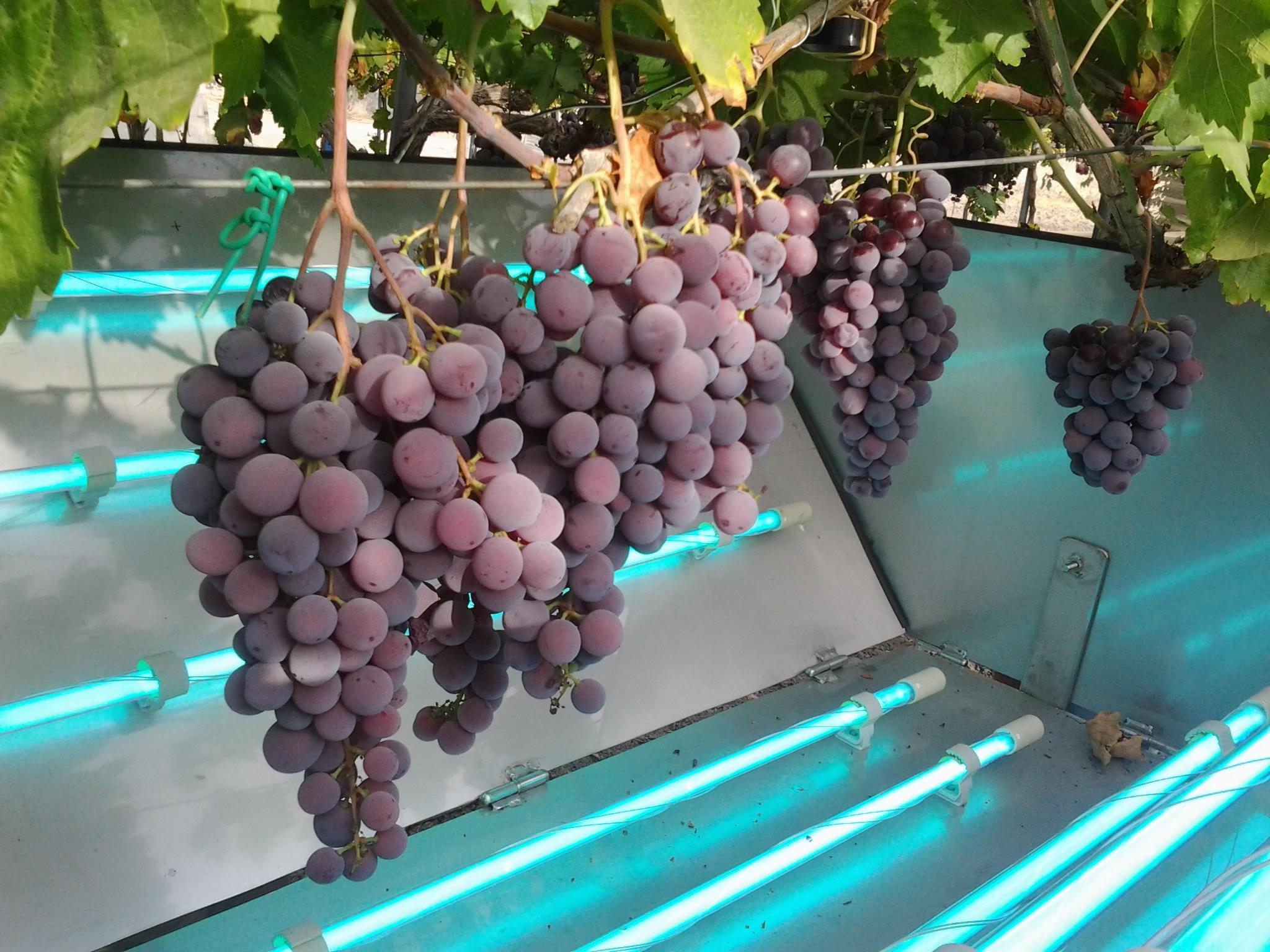 Demuestran el aumento de las defensas de la uva de mesa tras ser iluminada con luz ultravioleta