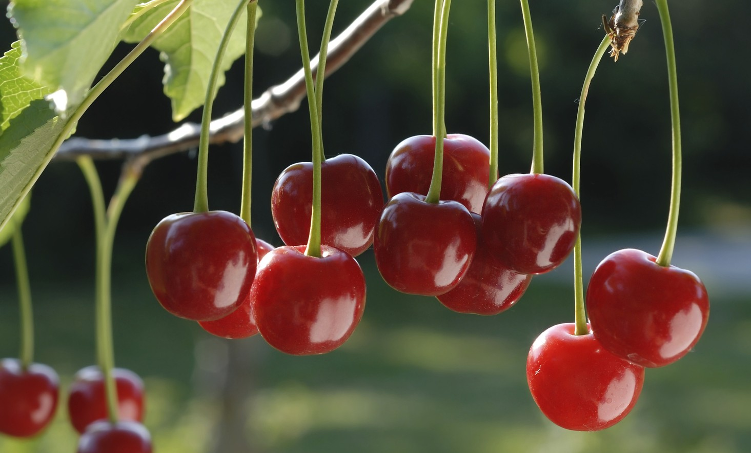 Mejorando la genética de la cereza
