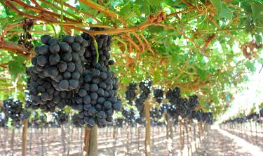 Comienza la cosecha de la uva Iniagrape-One en Aconcagua