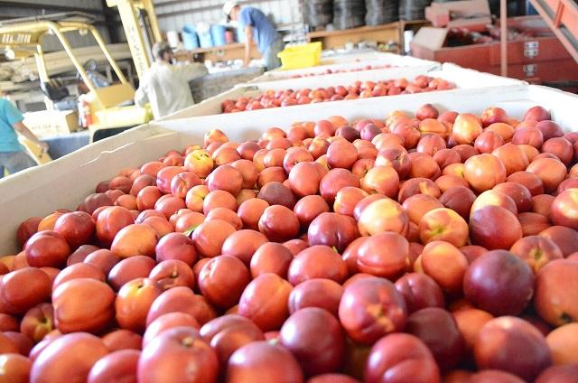 La conquista de los nectarines chilenos en China