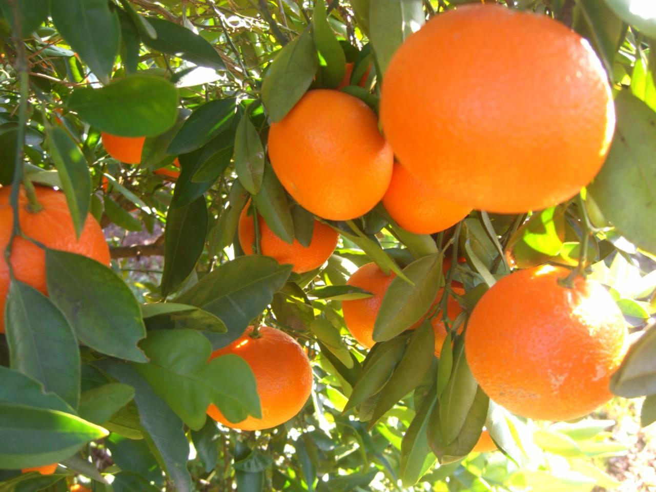 Desafío en Mandarinos