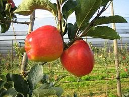 manzana ambrosiaOK