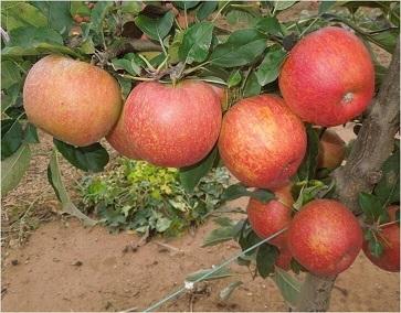 manzana envyA