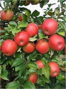 manzana honeycrispA