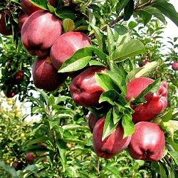 manzana scarlet spurA